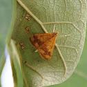 Perilla Leaf Moth