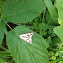 Colona Moth