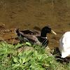 Mallard or Wild Duck