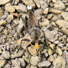white-tailed giant robber fly