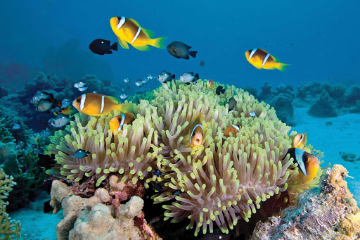 Great-Barrier-Reef-coral-fish - Sail with Silver Discoverer and discover one of the great snorkeling and scuba diving sites on the planet in the Great Barrier Reef.