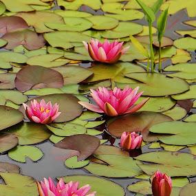 by Carole Walle - Flowers Flower Gardens (  )