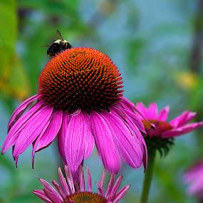 Bright Coneflowers by Nancy Senchak - Flowers Flower Gardens