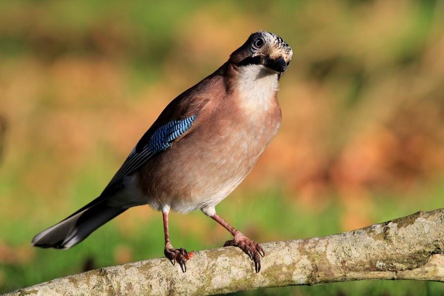 Jay by John Davies - Animals Birds ( wwt llanelli, small birds, garrulus glandarius, wildlife, jay, birds,  )