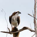 Osprey (male)
