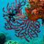 Gorgonian, Sea Fan