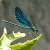 Beautiful Demoiselle (male)