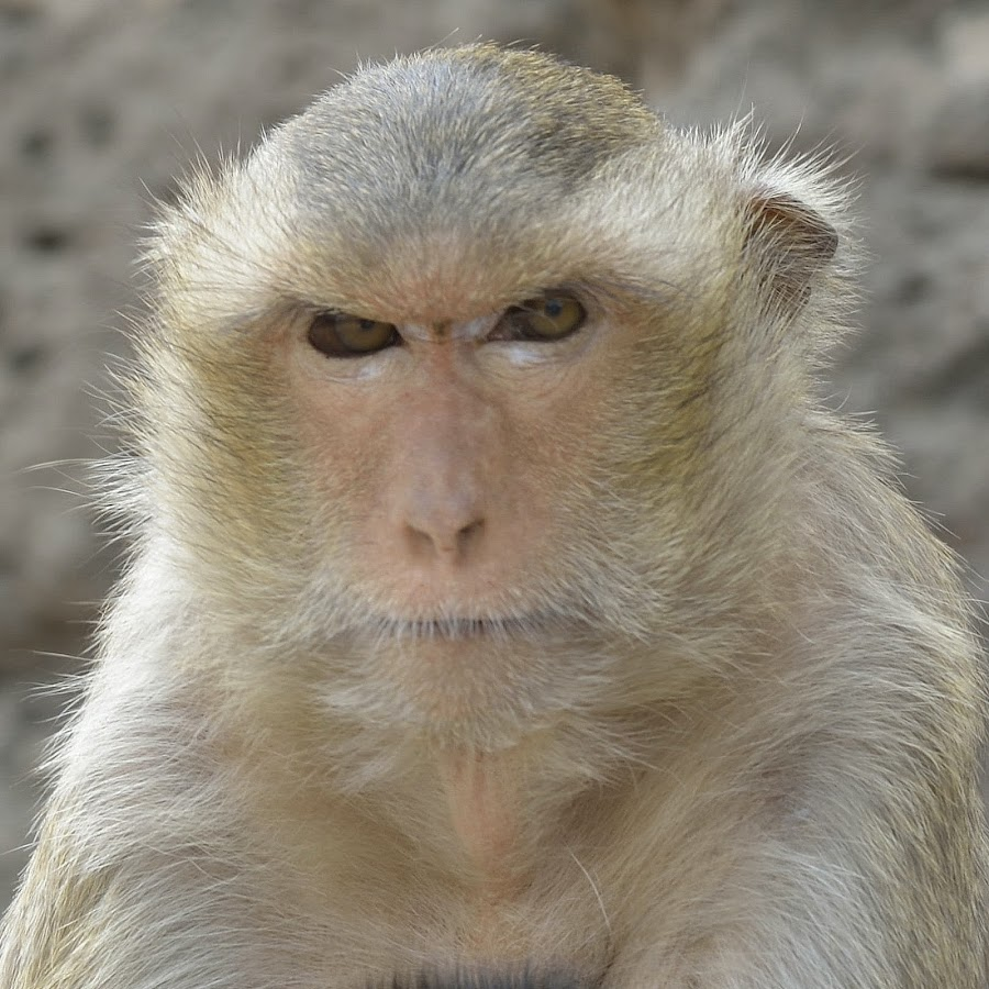 The eyes by Pier Riccardo Vanni - Animals Other Mammals ( look, ape, monkey, eyes, , animal )