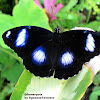 Great Eggfly ♂