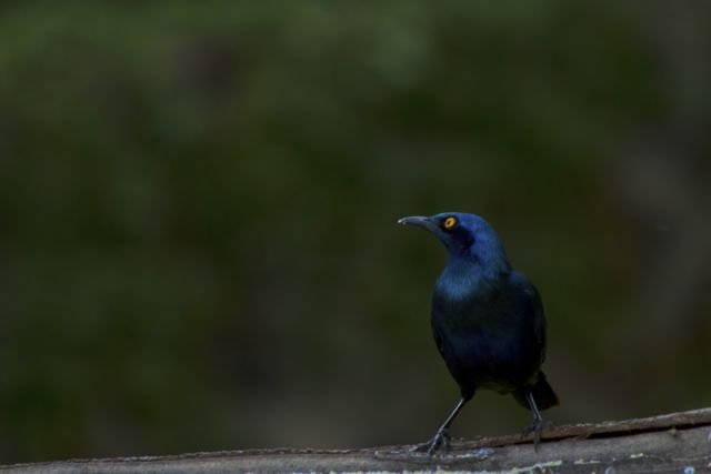 Greater Blue-eared Glossy Starling