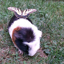 Buster the Guinea Pig