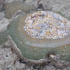 Marginal Goneastrea Coral