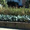 Cabbage stalk