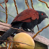 Greater Coucal(common coucal)