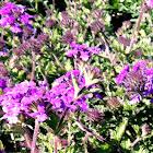 'Purple Homestead' Verbena