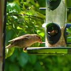 House Finch ( Female)