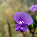 Purple Smithia