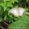 White Peacock - Pavo Real Blanco