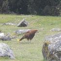 Montane Solitary Eagle