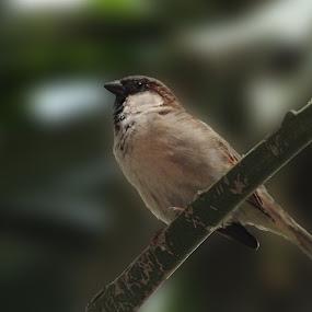 Lil Sparrow by Chirag Gupta - Animals Birds ( bird, trunk, tree, sparrow )