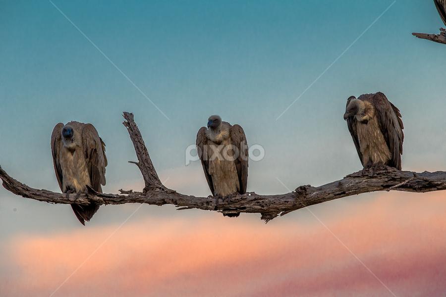 The undertakers by Lourens Lee Wildlife Photography - Animals Birds ( animals, lourens lee, birds,  )
