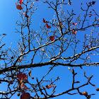 Callery Pear tree (fruit and fall foliage)