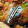 Blue Sphinx Nudibranch