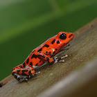 Strawberry Dart Frog