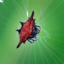 Spiny orange orb-weaver