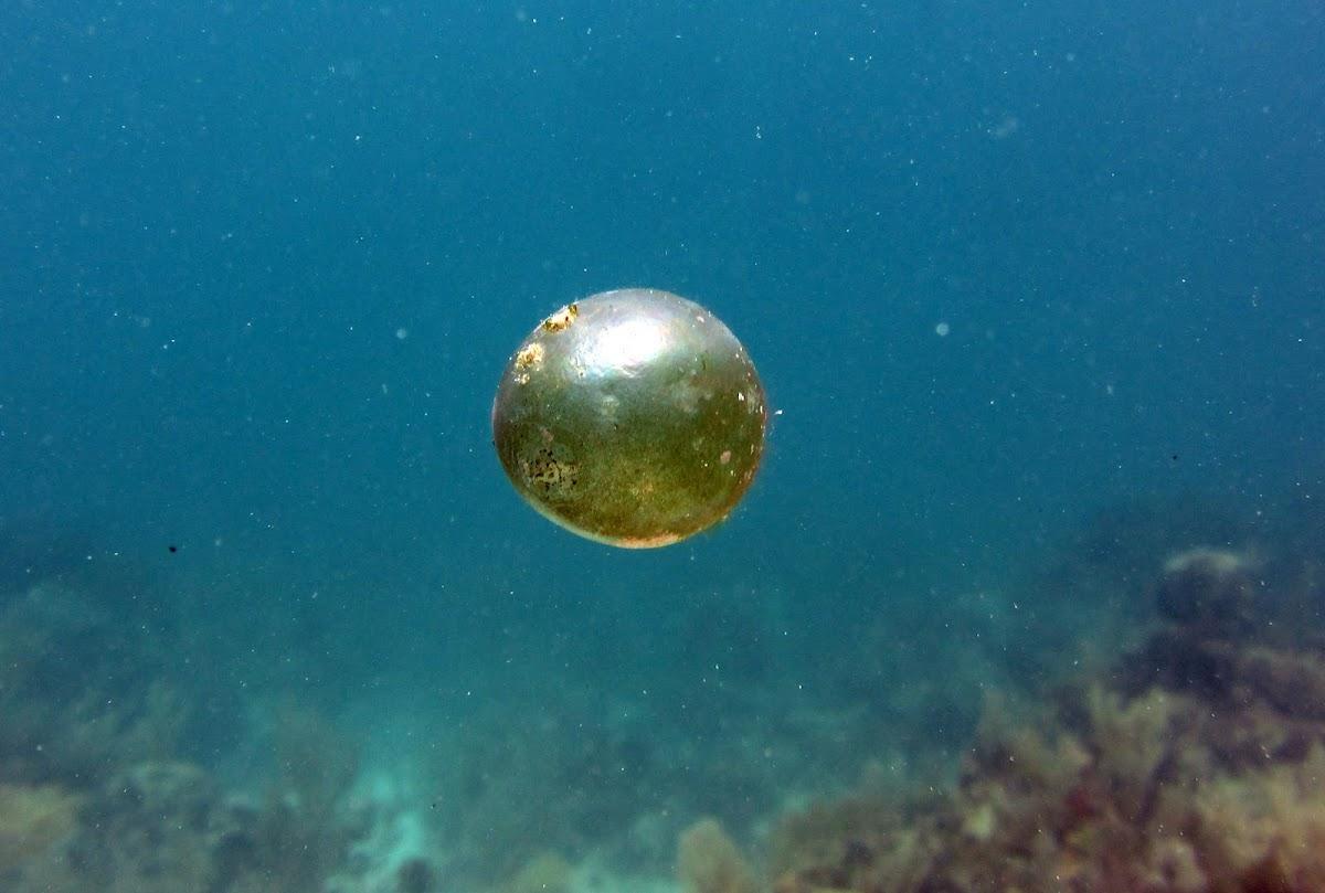 Sea Pearl Alga