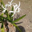 Swamp lily or string lily