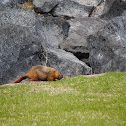 Yellow -bellied marmot