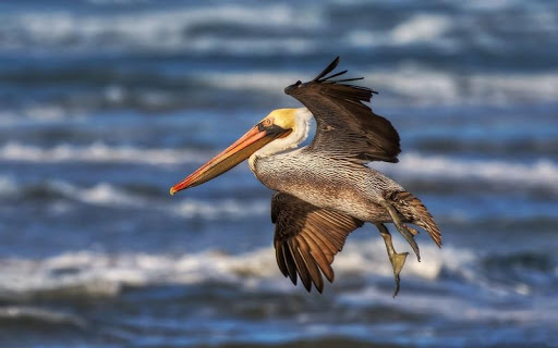 Pelican Bird HD Wallpaper
