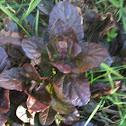 Common Bugleweed