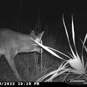 Southeastern Coyote