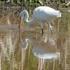 Great Egret (catches a fish)