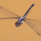 Slaty Skimmer dragonfly (female, oviposition, in flight)