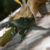 jewel lizard, thin tree iguana, lagartija esbelta