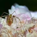 Green linx spider