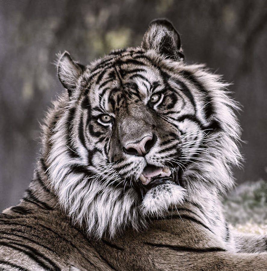 by Lisa Coletto - Animals Lions, Tigers & Big Cats ( cat, tiger, animal )