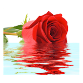 Rose In Water IV