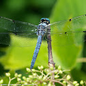 Great Blue Skimmer dragonfly (adult male)