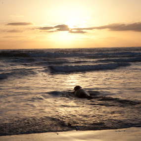 Bye Bye Baby Seal by Danielle Falknor - Landscapes Beaches ( beaches, seal, california, sunset )