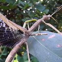 Crown stick insect