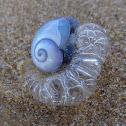 Common Purple Snail