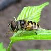 Transverse Flower Fly