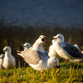 It's Sunset!! by Malan Lombard - Animals Birds ( bird, scream, birds, sea gull, sunbathing )