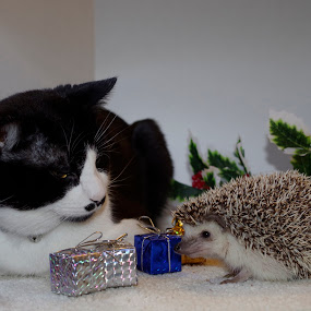 Gift Exchange by Dyane Kirkland - Public Holidays Christmas ( hedgehog, cat, christmas, toys, gifts, presents, Christmas, Pets, Play, Critters, Presents, Ornaments, Christmas Tree, Christmas Pets, Joy, Pets Playing )
