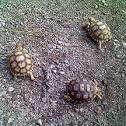 tortuga africana de espuelas