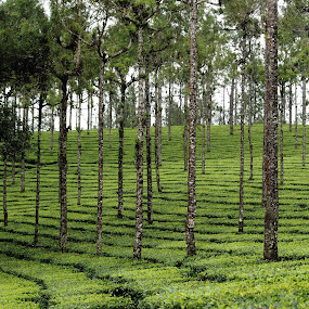 by Ansari Joshi - Uncategorized All Uncategorized ( green, lush green, tea,  )